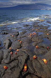 Sally lightfoot crabs (Grapsus grapsus) feeding on the wave-swept lava of Fernandina Is, Galapagos .  -  Pete Oxford