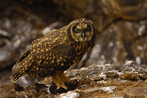Short-eared owl (Asio flammeus galapagoensis) with Storm petrel prey. Tower / Genovesa Is, Galapagos  -  Pete Oxford