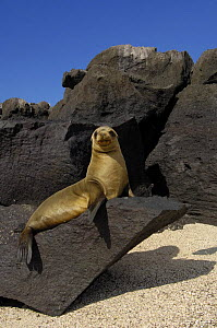 Galapagos sealion (Zalophus californianus wollebaeki) sunning on rock, Cerro Brujo, San Cristobal Is, Galapagos  -  Pete Oxford