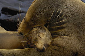 Galapagos sealions (Zalophus californianus wollebaeki) Mother and pup, Espa�ola / Hood Is, Galapagos  -  Pete Oxford