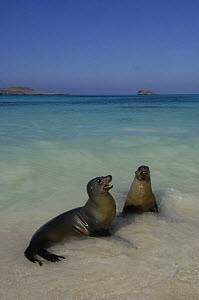 Galapagos sealions (Zalophus californianus wollebaeki) playing in shallow water, Gardner Bay, Espa�ola / Hood Is, Galapagos  -  Pete Oxford