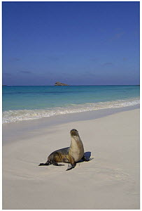 Galapagos sealion (Zalophus californianus wollebaeki) on beach Gardner Bay, Espa�ola / Hood Is, Galapagos America  -  Pete Oxford