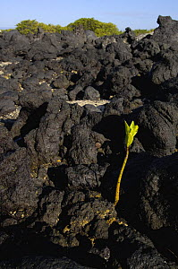 Red mangrove seedling (Rhizophora mangle) growing up through lava, Urbina Bay, Isabela Is, Galapagos - Pete Oxford