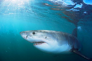 Great white shark {Carcharodon carcharias} just below surface, Gansbaai, South Africa - Doug Perrine