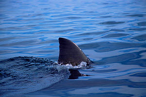 Dorsal fin of Great white shark at surface {Carcharodon carcharias} Gansbaai, South Africa - Doug Perrine