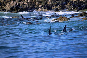 Dorsal fins of Great white shark {Carcharodon carcharias} patrolling coastal fur seal colony {Arctocephalus p pusillus} Dyer Island, South Africa - Doug Perrine