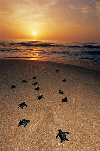 Kemp's ridley turtle {Lepidochelys kempii} hatchlings head for the sea after release from protected nests, Rancho Nuevo, Gulf of Mexico, Mexico 2002 - Doug Perrine