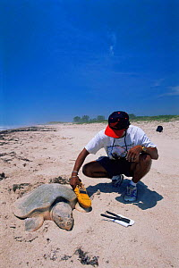 Scientist uses microwave scanner to read PIT tag in Kemp's ridley turtle {Lepidochelys kempii} female laying eggs in nest on beach, Rancho Nuevo, Gulf of Mexico, Mexico 2002  -  Doug Perrine