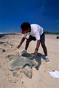 Scientist measures Kemp's ridley turtle {Lepidochelys kempii} female laying eggs in nest on beach, Rancho Nuevo, Gulf of Mexico, Mexico 2002  -  Doug Perrine