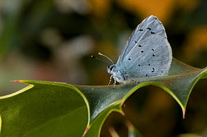 Holly Blue butterfly {Celastrina argiollus} profile on Holly leaf, Hertfordshire, UK.  -  Andy Sands