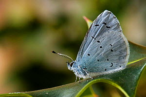 Holly Blue butterfly {Celastrina argiollus} on Holly leaf, Hertfordshire, UK.  -  Andy Sands