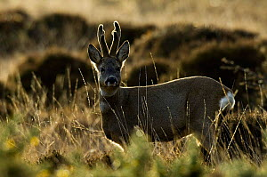 Roe Deer {Capreolus capreolus} buck, Islay, Scotland. - Andy Sands