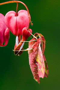 Small Elephant Hawkmoth {Deilephila porcellus} on Bleeding Heart flower, captive, UK. - Andy Sands