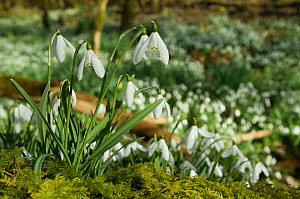 Snowdrops {Galanthus nivalis} in woodland, Islay, Scotland. - Andy Sands