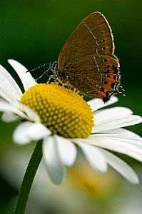 Black hairstreak {Satyrium pruni} on flower, La Brenne, France.  -  Philippe Clement