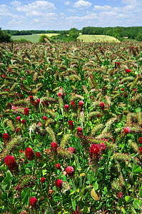 Field of Crimson clover {Trifolium incarnatum} cultivated as fodder, La Brenne, France.  -  Philippe Clement