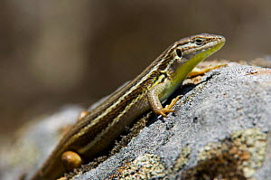 Large psammodromus / Lizard {Psammodromus algirus} sunning on rock, Extremadura, Spain.  -  Philippe Clement