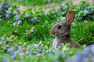 Young European rabbit {Oryctolagus cuniculus} head profile among flowers, Flanders, Belgium. - Philippe Clement