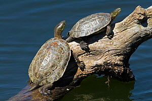 Spanish terrapins / Mediterranean pond turtles (Mauremys leprosa) basking in the sun on log in lake, Extremadura, Spain - Philippe Clement