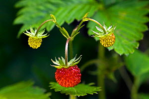 Wild strawberries {Fragaria vesca} La Brenne, France.  -  Philippe Clement