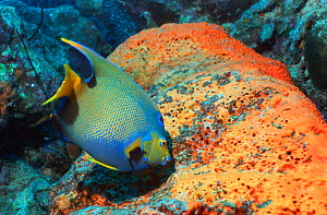 Queen angelfish {Holacanthus ciliaris} grazing on Sponge, Bonaire, Netherlands Antilles, Caribbean, Atlantic Ocean.  -  Georgette Douwma