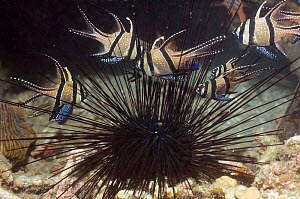 Banggai cardinalfish {Pterapogon kauderni} sheltering amongst the spines of a Long-spine urchin {Diadema setosum} Lembeh Strait, North Sulawesi, Indonesia.  -  Georgette Douwma