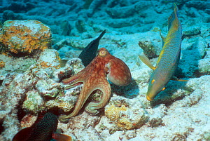 Common octopus {Octopus vulgaris} hunting on coral rubble, closely watched by Spanish hogfish {Bodianus rufus} and a Grouper, hoping to catch escaping prey. Bonaire, Netherlands Antilles, Caribbean  -  Georgette Douwma
