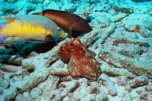 Common octopus {Octopus vulgaris} hunting on coral rubble, closely watched by Spanish hogfish {Bodianus rufus} and a Grouper, hoping to catch escaping prey. Bonaire, Netherlands Antilles, Caribbean, A...  -  Georgette Douwma