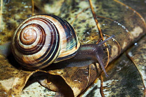 White lipped banded snail {Cepaea hortensis} UK. - Shell colour is variable, can be all yellow.  -  Georgette Douwma
