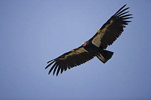 Californian Condor {Gymnogyps californianus} in flight with wing patches identifying individual,  Arizona, USA - First reintroduced to Arizona in 1996, now breeding in the wild, in the Grand Canyon-Ve... - John Cancalosi