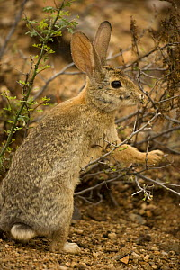 Desert Cottontail {Sylvilagus auduboni} with engorged ticks on face, Sonoran desert, Arizona, USA. - John Cancalosi