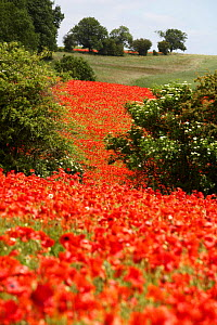 Field full of Common poppies in flower {Papaver rhoeas} Gloucestershire, England, UK.  -  Nick Turner