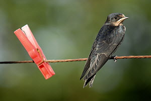 Juvenile swallow {Hirundo rustica} perched on clothes line. Bradworthy, Devon, UK.  -  Ross Hoddinott
