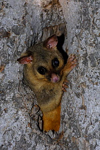 Common Brushtail Possum {Trichosurus vulpecula} adult peering out from tree den, Queensland, Australia - Steven David Miller