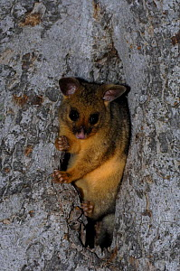 Common Brushtail Possum {Trichosurus vulpecula} juvenile peering out from tree den, Queensland, Australia. - Steven David Miller