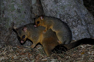 Common Brushtail Possum {Trichosurus vulpecula}  young possum on its mother's back, Bargarra, Queensland, Australia. - Steven David Miller