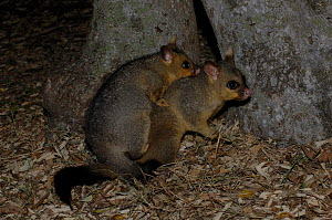Common Brushtail Possum {Trichosurus vulpecula}  young possum on its mother's back, Queensland, Australia. - Steven David Miller