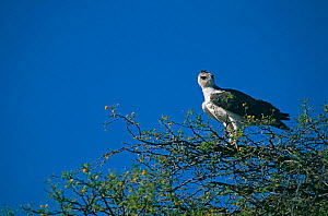 Immature Martial eagle {Polemaetus bellicosus} perching on tree, Chobe National Park, Botswana.  -  Pete Oxford