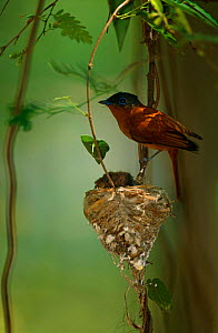 Madagascar Paradise Flycatcher {Terpsiphone mutata} perching next to nest, Western Dry Forest, Madagascar, UK.  -  Pete Oxford