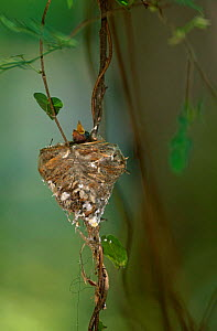 Madagascar Paradise Flycatcher {Terpsiphone mutata} chick in nest, Western Dry Forest, Madagascar.  -  Pete Oxford