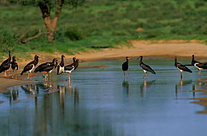 Abdims Storks {Ciconia abdimii} standing in water, Kgalagadi Transfrontier Park, South Africa.  -  Pete Oxford
