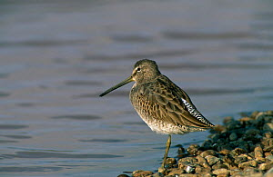 Long-billed Dowitcher {Limnodromus scolopaceus} at waters edge, Sohar, Oman. - Hanne & Jens Eriksen