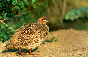 Indian grey Francolin {Fancolinus pondicerianus} Ghantut, UAE. - Hanne & Jens Eriksen