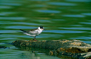 White-winged Black Tern {Childonias leucoptera}  juvenile on rocks next to water, Al Ansab, Oman.  -  Hanne & Jens Eriksen
