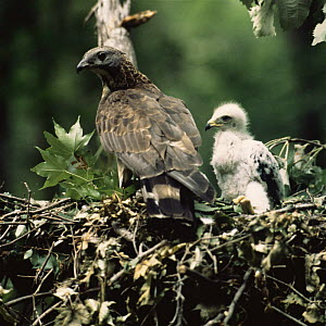 Oriental honey buzzard {Pernis ptilorhynchus} with chick at nest, Primorskiy, Ussuriland, Russia - Yuri Shibnev