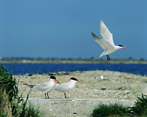 Caspian terns {Hydroprogne caspia} breeding colony on island in Baltic sea, Sweden  -  Bengt Lundberg