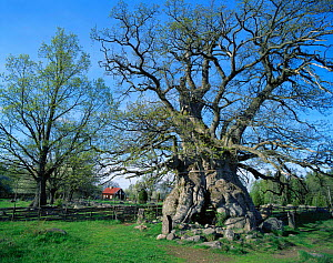 Ancient oak tree (Quercus sp) growing in farmland, early spring, Smaland, Sweden  -  Bengt Lundberg