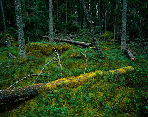 Old protected forest with fallen trees allowed to regenerate moss and lichen on forest floor, Hamra NP, Gastrikland, Sweden  -  Bengt Lundberg