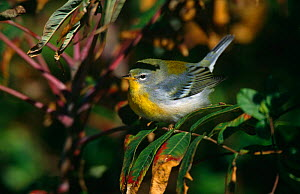 Northern parula {Parula americana}, Long Island, NY, USA.  -  Tom Vezo