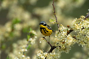 Magnolia Warbler {Dendroica magnolia} perching on branch in blossom, Long Island, NY, USA. - Tom Vezo